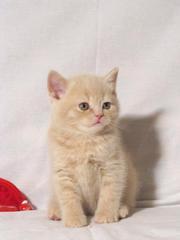 Шотландский котенок - лучший подарок