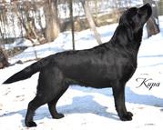 Срочно недорого высокопородные щенки лабрадора