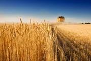 Купим Ячмень,  Горох,  Рапс,  Кукуруза,  жмых,  сою,  подсолнух(сем),  пшениц